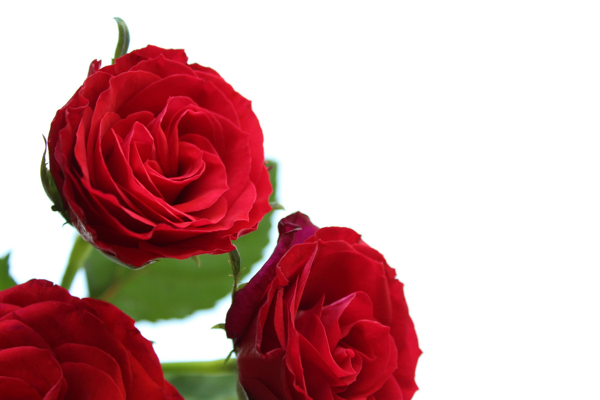 letters-and-beads-diy-beauty-rosenwasser-rosenblueten